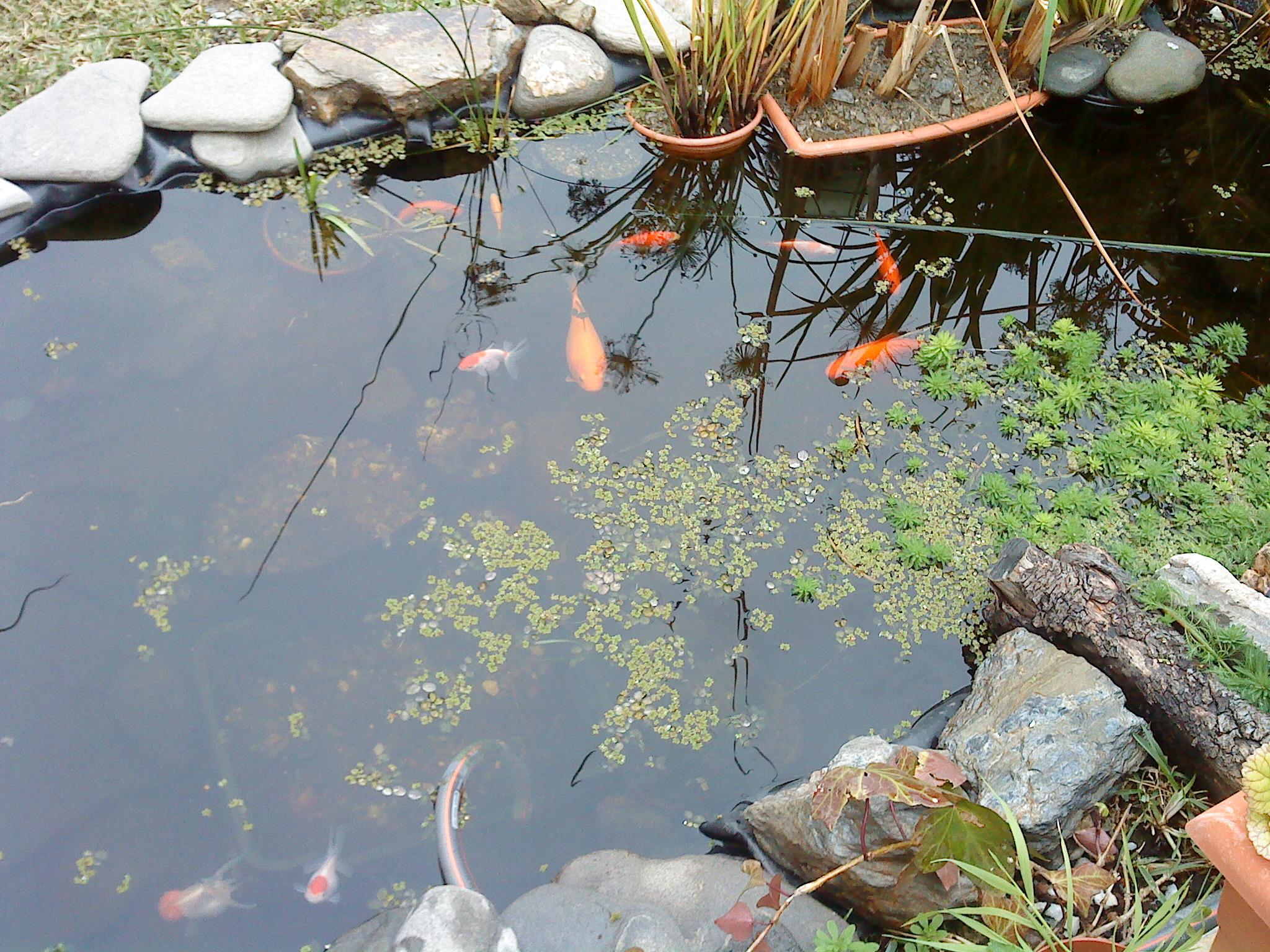 vista completa del estanque al fondo est la mini cascada y al principio la zona hmeda del estanque donde hay lirios plantas carnivoras